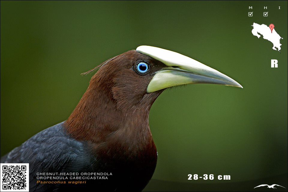 chesnut headed oropendola